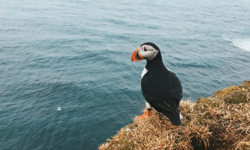 Puffin in Iceland